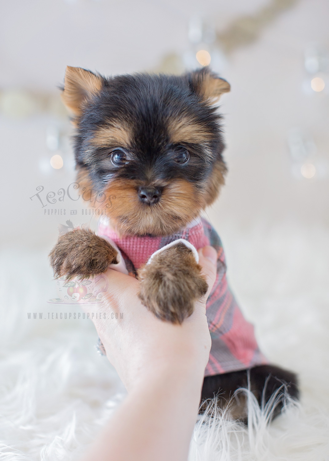 For Sale Teacup Puppies #320 Tiny Yorkie Puppy