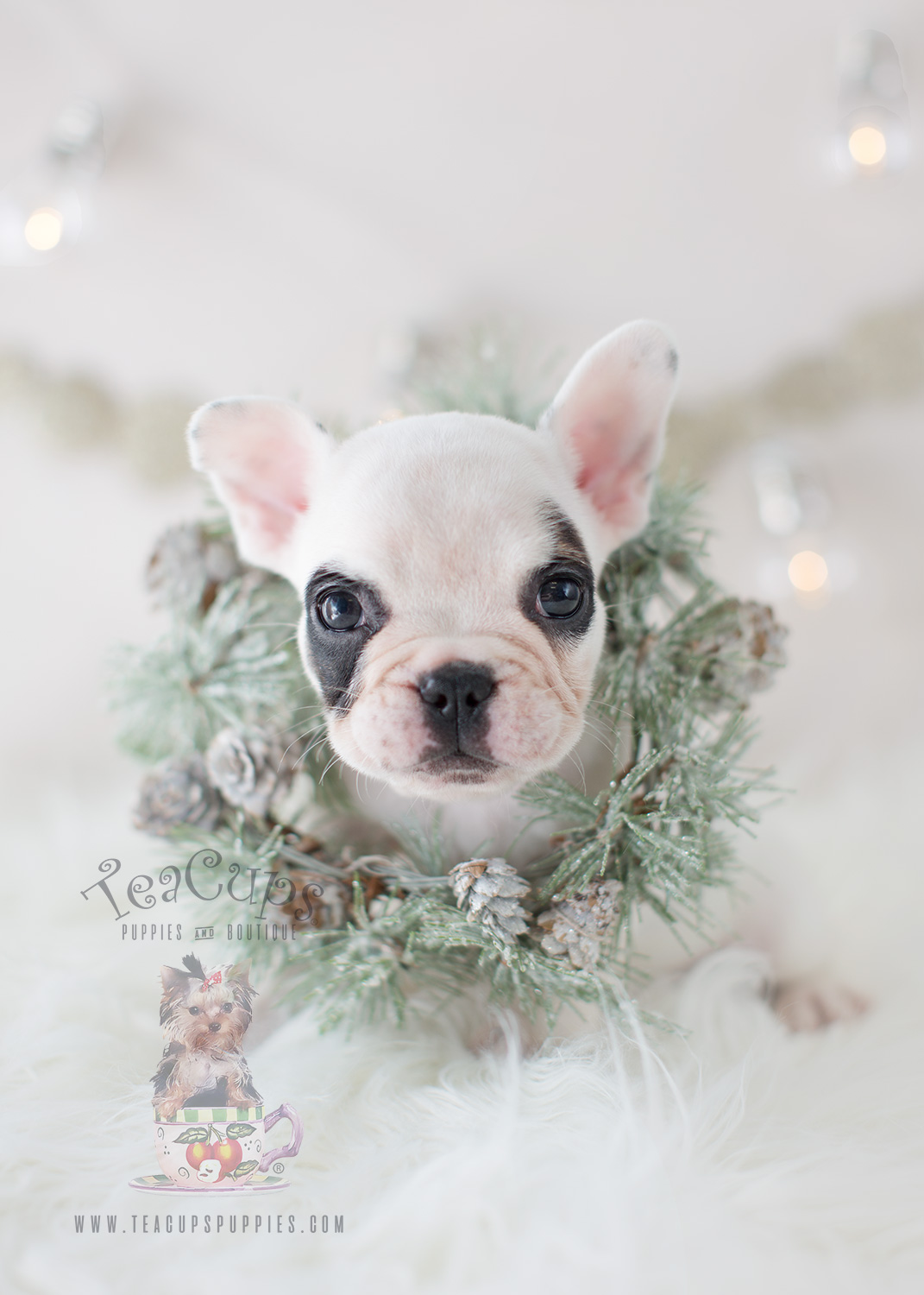 Teacups Puppies White French Bulldog Frenchie Puppy #301