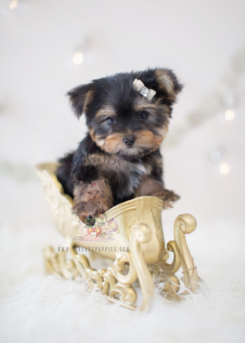 Puppy For Sale #304 Teacup Puppies Yorkie