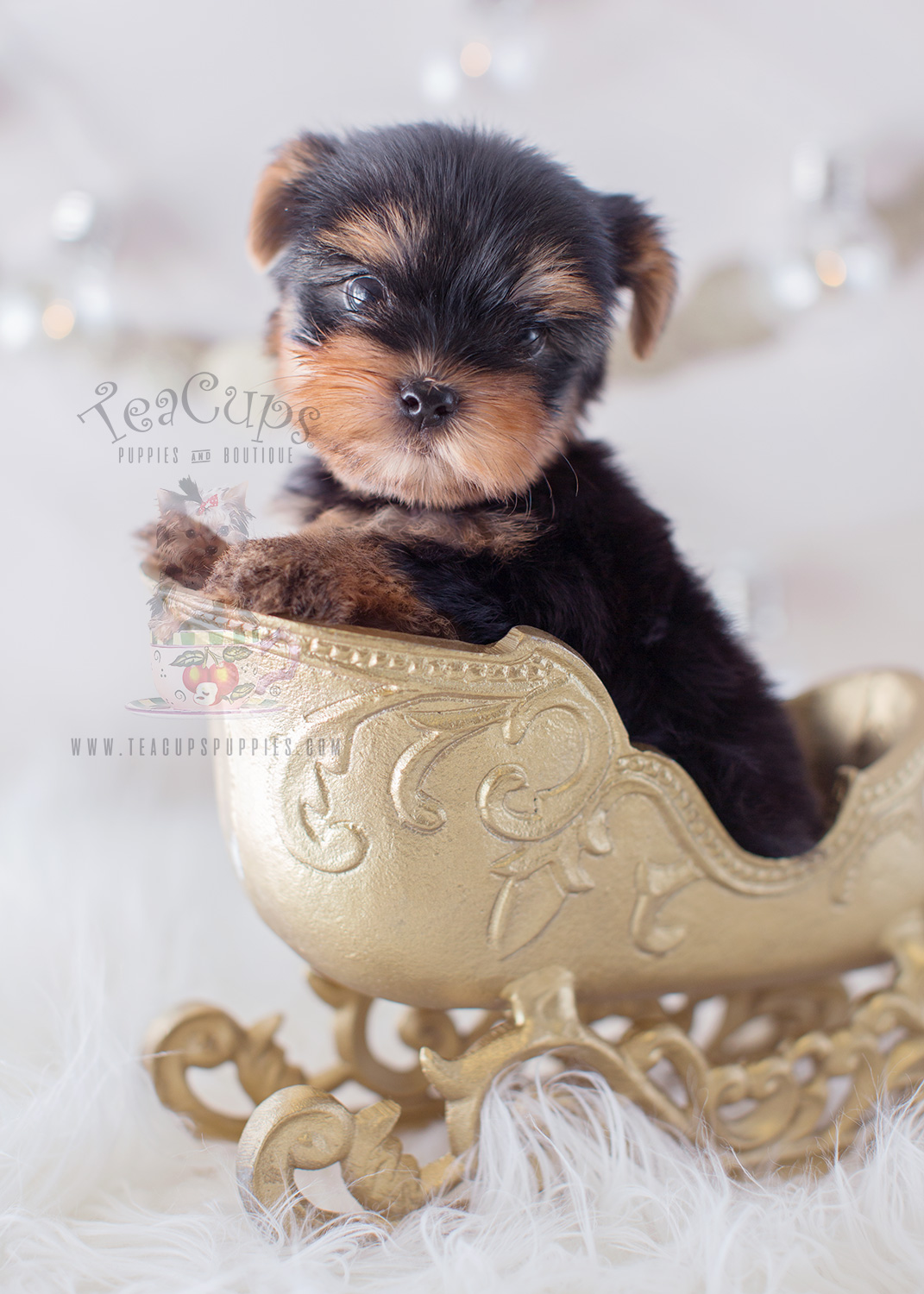 Puppy For Sale #318 Teacup Puppies Yorkie