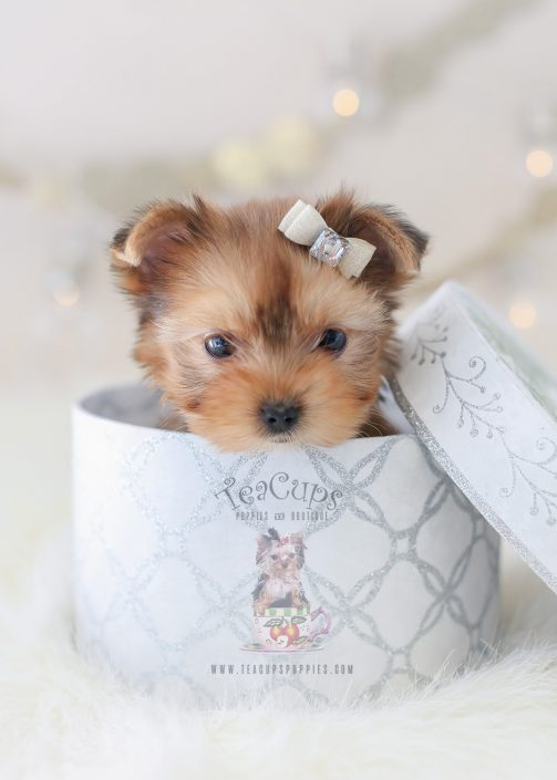 Puppy For Sale #359 TeaCup Puppies Golden Yorkie