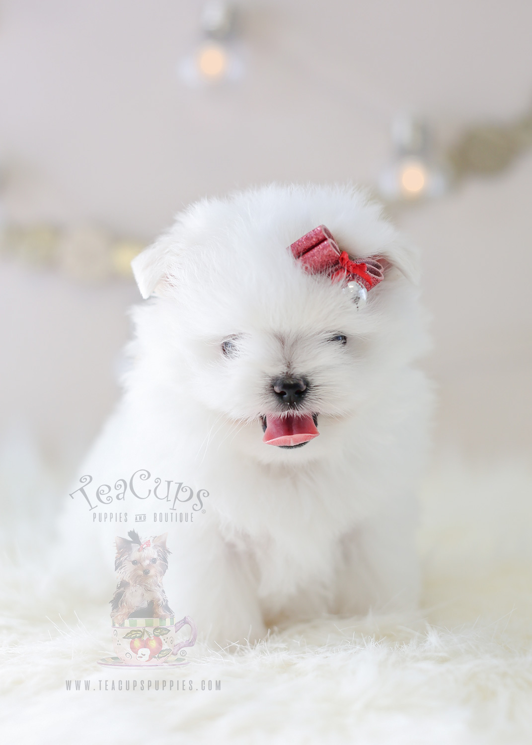 Maltipom Puppy #358 For Sale Teacup Puppies