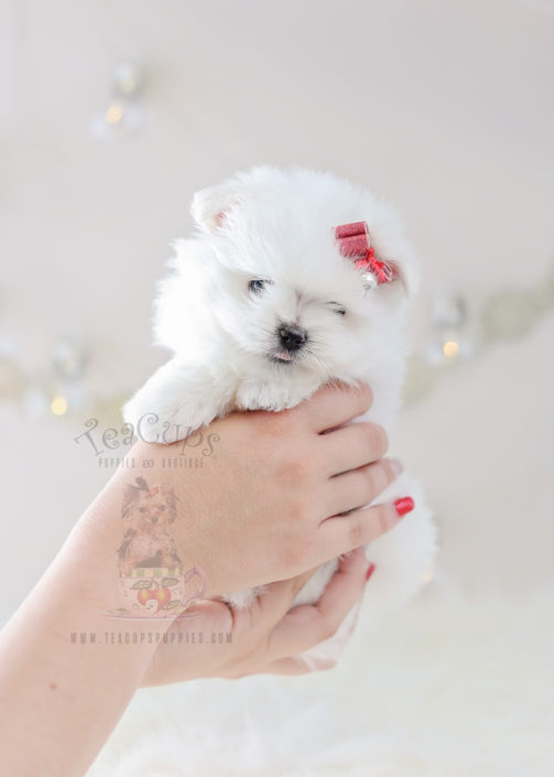 Teacup Puppies Maltipom Puppy #358 For Sale