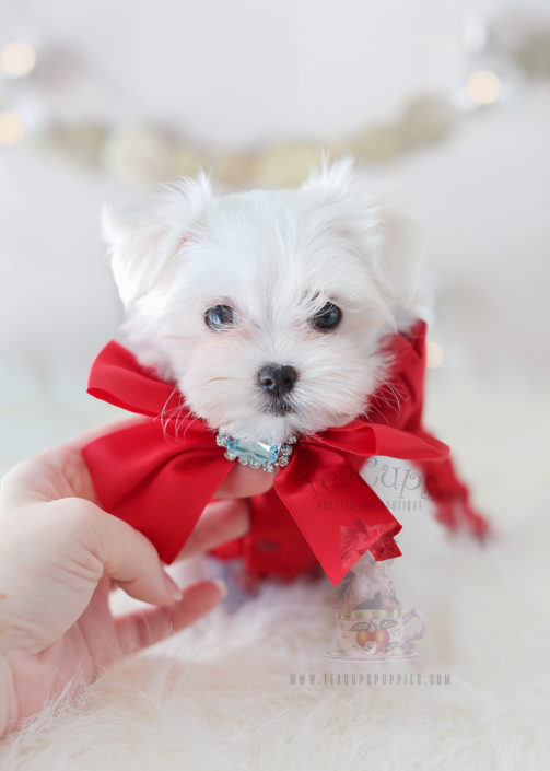 For Sale #339 Teacup Puppies Maltese Puppy