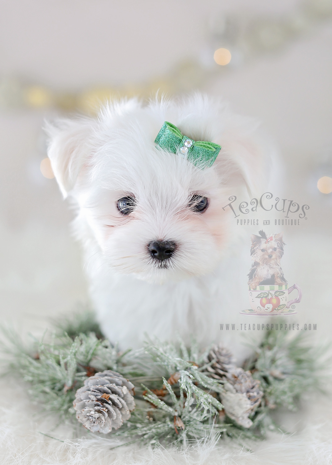Puppy Boutique Store | TEACUP PUPPIES FOR SALE