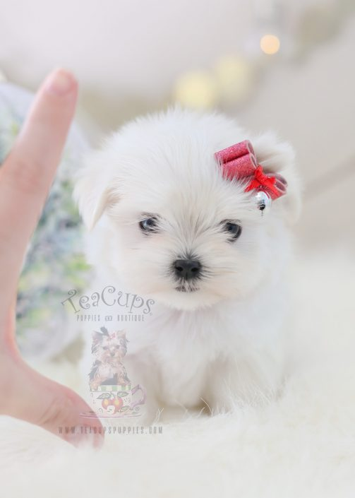 For Sale #362 TeaCup Puppies Maltese Puppy For Sale