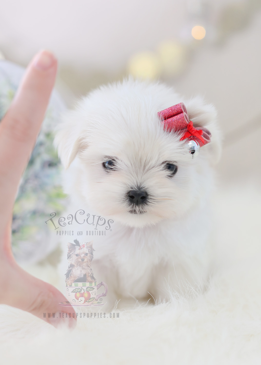 teacups puppies maltese available teacups puppies