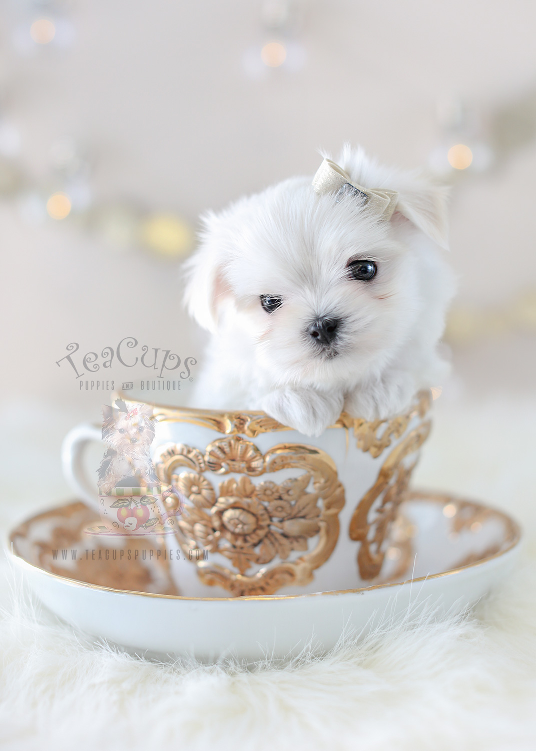 For Sale #363 TeaCup Puppies Maltese Puppy