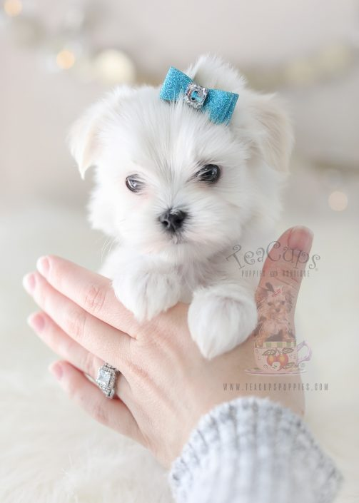 Puppy For Sale #369 TeaCup Puppies Maltese