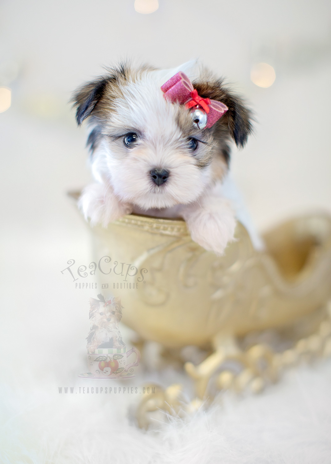 Those adorable teacup pups, loved by celebrities, often ...
