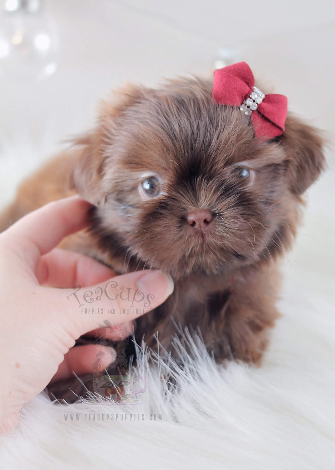 For Sale #332 Teacup Puppies Shih Tzu Puppy