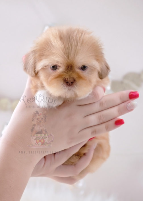 For Sale #333 Teacup Puppies Shih Tzu Puppy