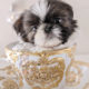 For Sale #337 Teacup Puppies Shih Tzu Puppy