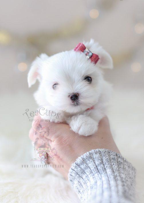 Teacup Maltese Puppy #361