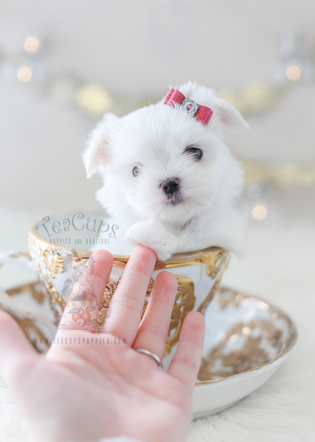 For Sale #361 Teacup Puppies TeaCup Maltese Puppy