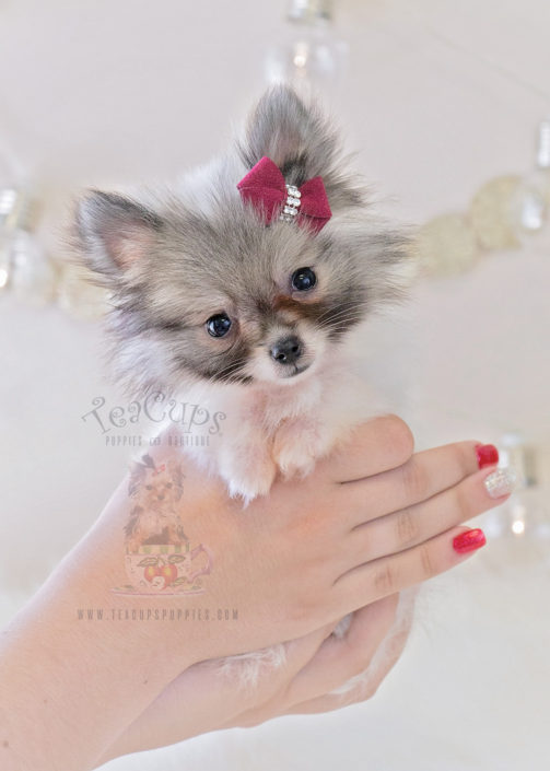 For Sale #327 Teacup Puppies Teacup Pomeranian Puppy