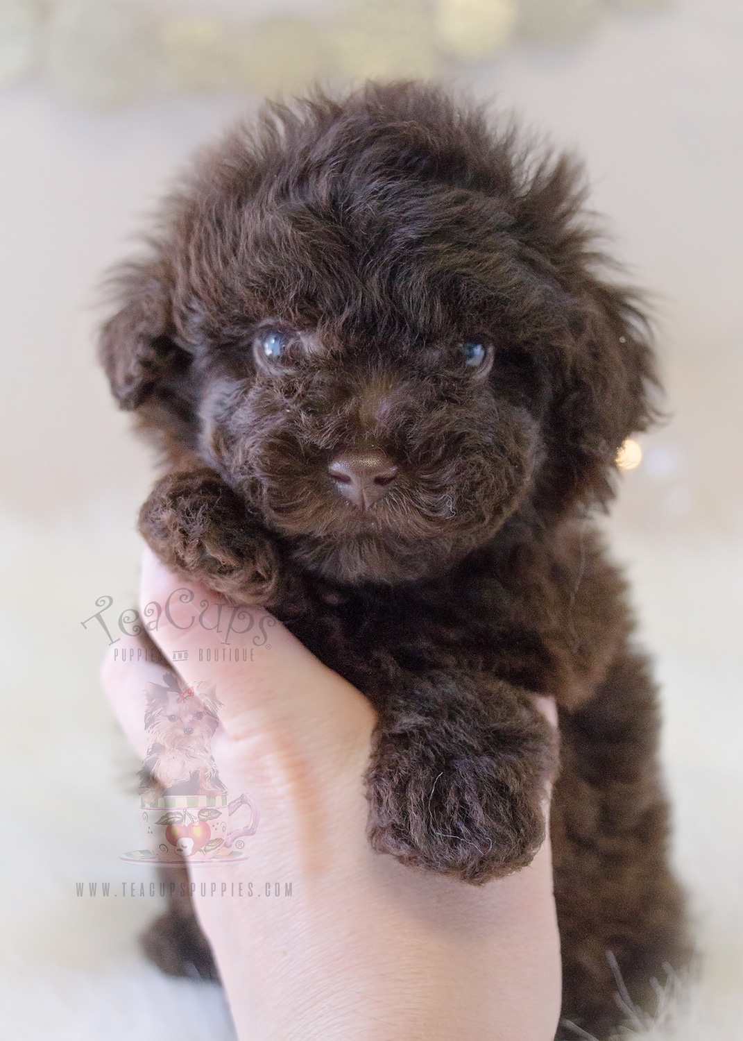 Chocolate Toy Poodle Puppy – Wow Blog