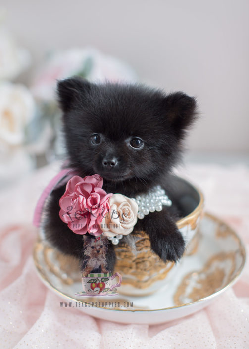 Pomeranian Puppy For Sale at TeaCups Puppies