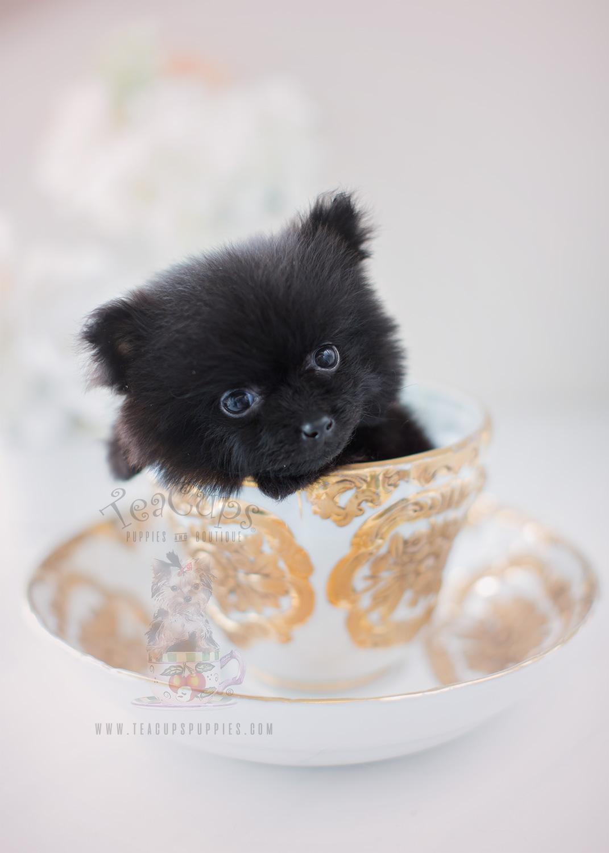 Beautiful Pomeranian Puppy