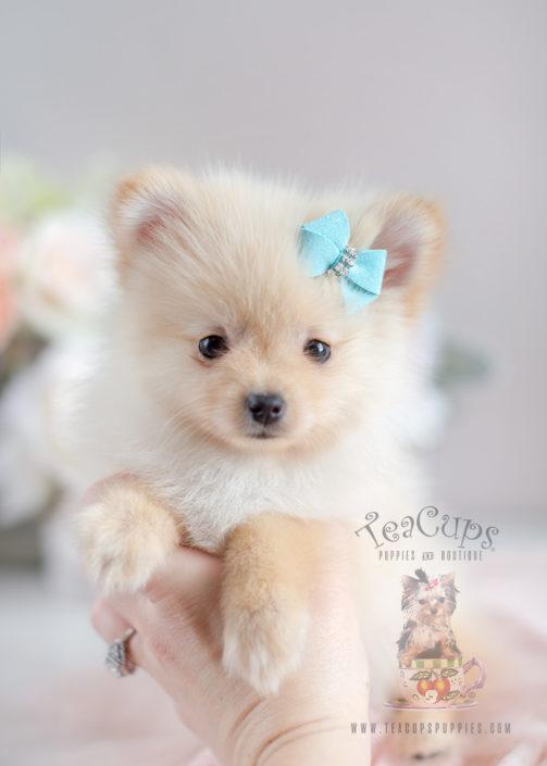 Cream Pom Puppies in South Florida