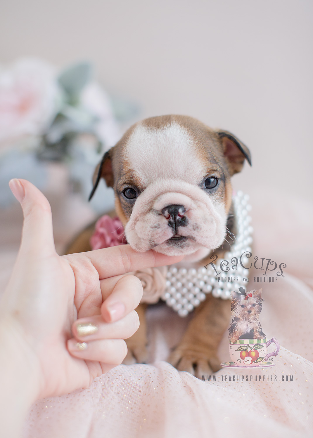 English Bulldog Puppy For Sale at TeaCup Puppies