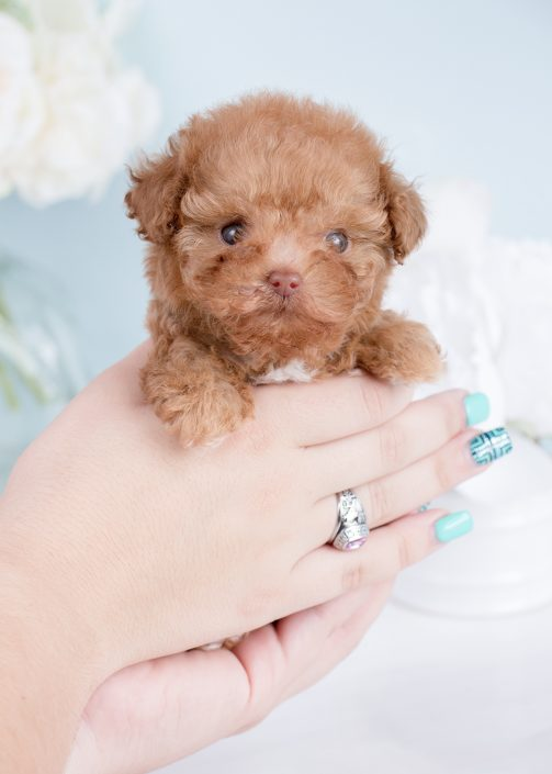 Micro Teacup Poodle Puppies For Sale