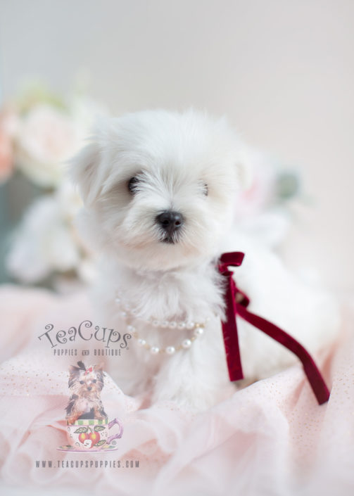 Beautiful Maltese Puppy For Sale #024