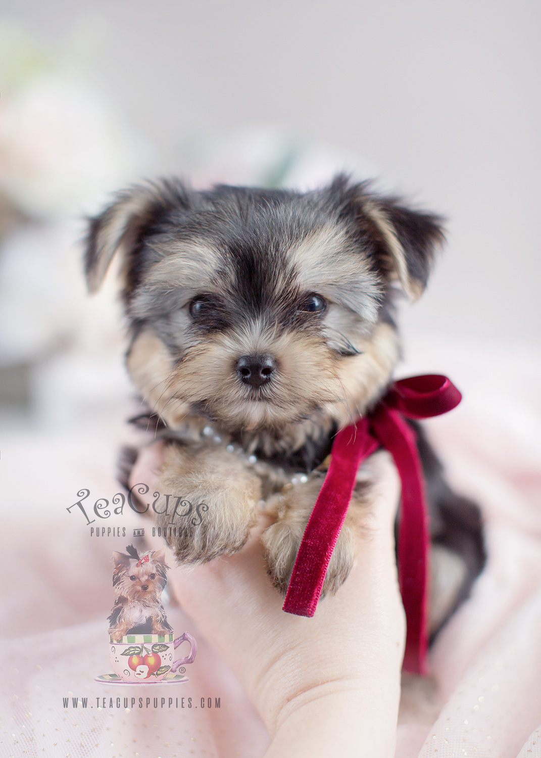 beautiful morkie puppies for sale at teacups teacups