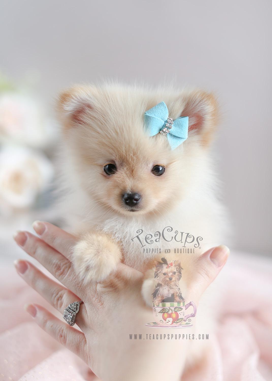 Teacup Pomeranian For Sale at South Florida | Teacups ... | 1071 x 1500 jpeg 263kB