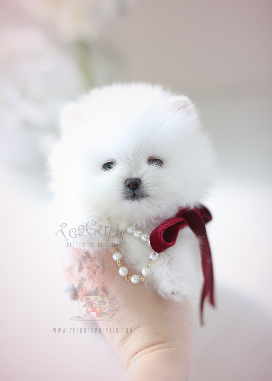 Teacup Pomeranian Puppies For Sale In Miami Ft