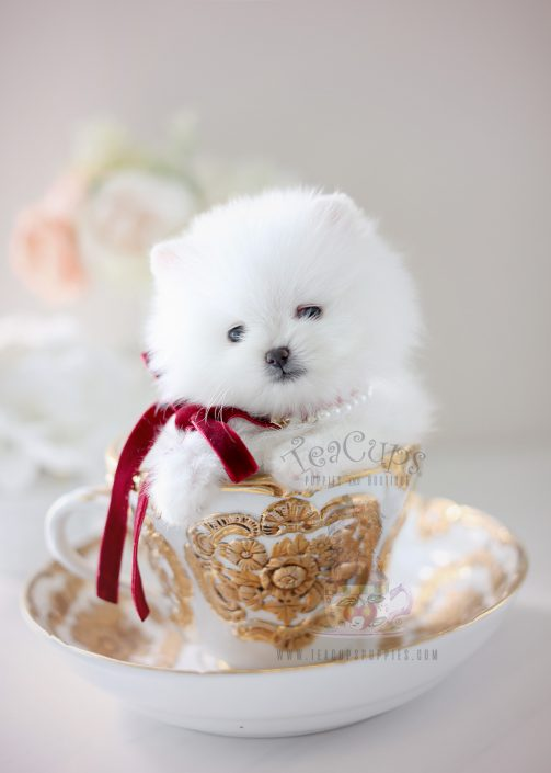 White Teacup Pomeranian by Teacup Puppies