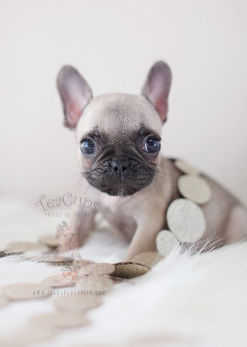 Tiny French Bulldog Puppies For Sale