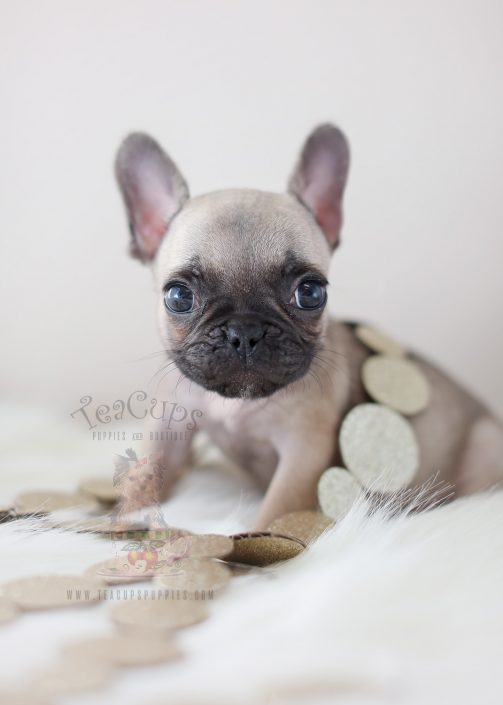 French Bulldog Puppies For Sale by TeaCups, Puppies ... | 503 x 705 jpeg 28kB