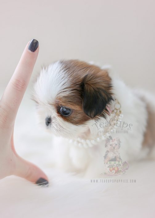Tiny Type Shih Tzu Puppy ID #001 For Sale