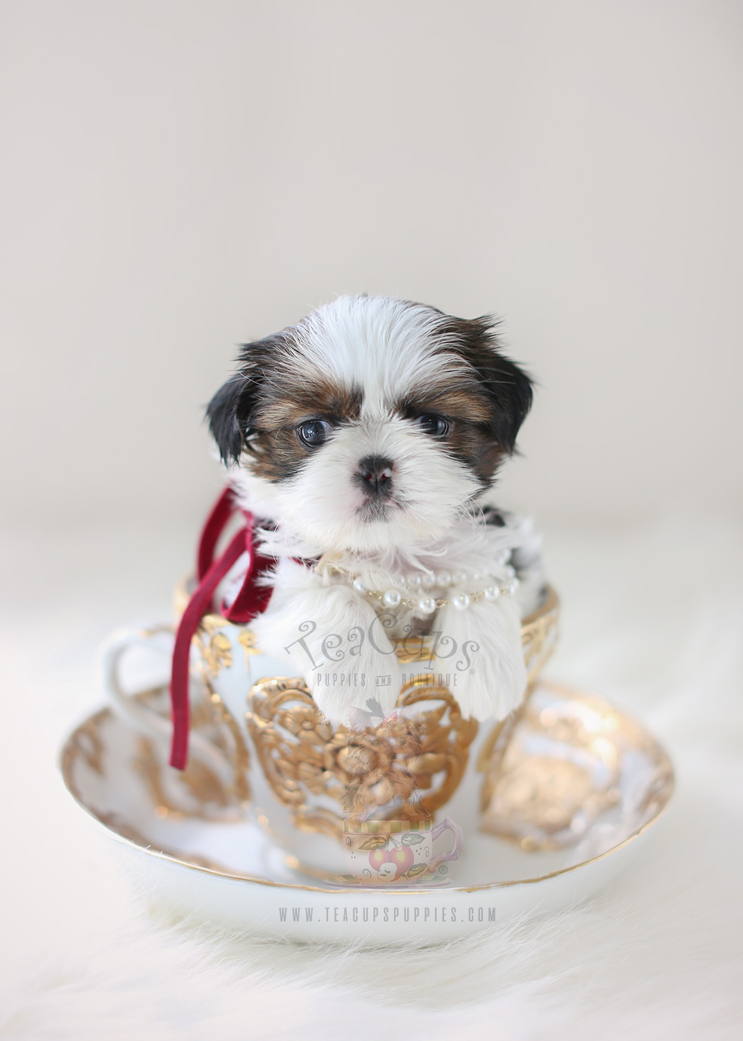 Tiny Type Shih Tzu Puppy