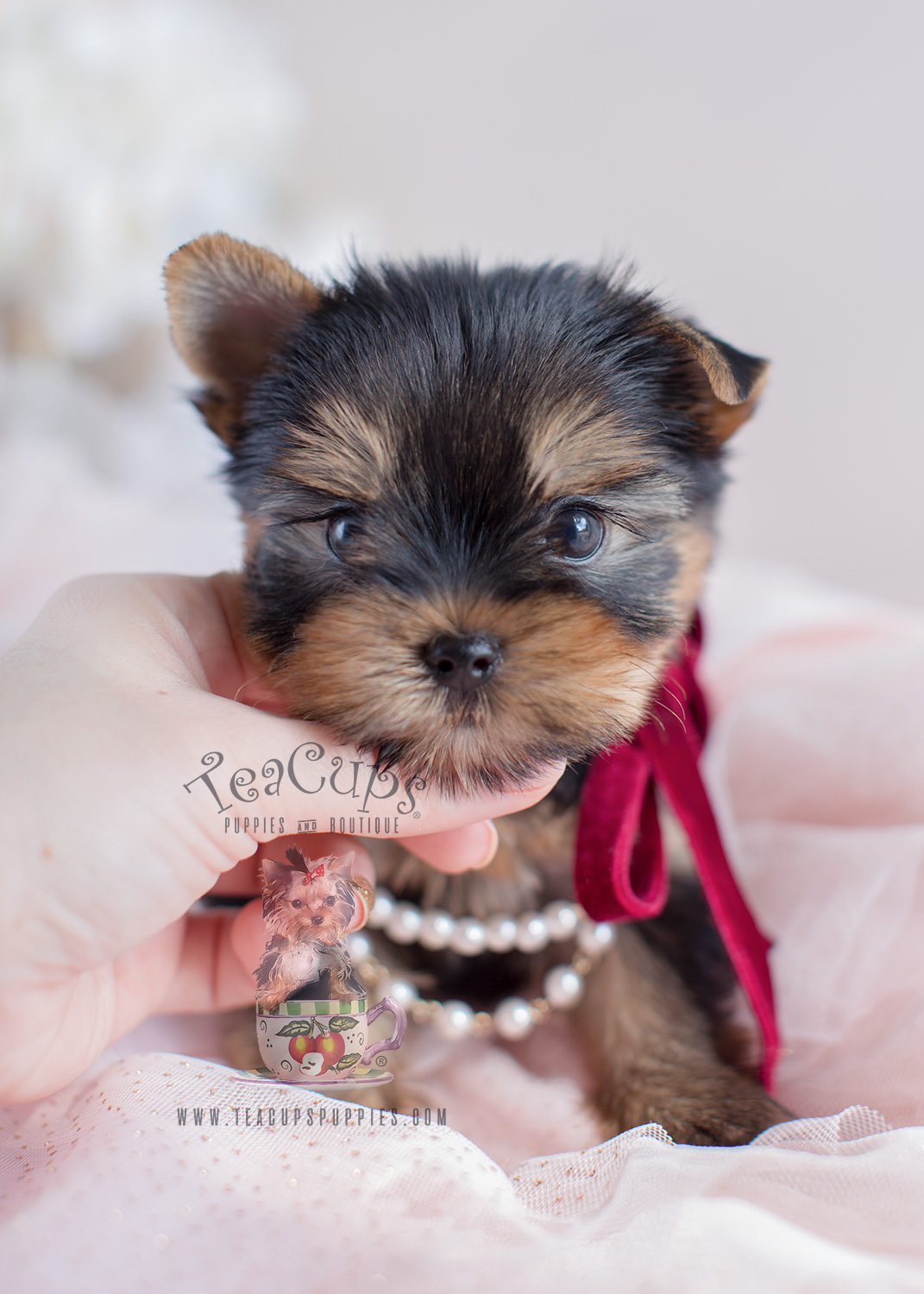 Adorable Yorkie Puppy by TeaCup Puppies