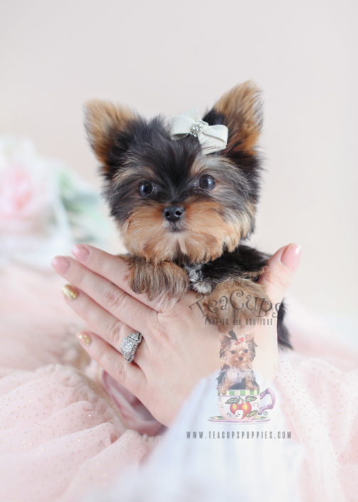 Tiny Yorkie Puppy For Sale #013