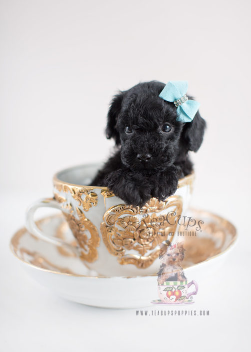 Black Toy Poodle Puppy For Sale Teacup Puppies #035