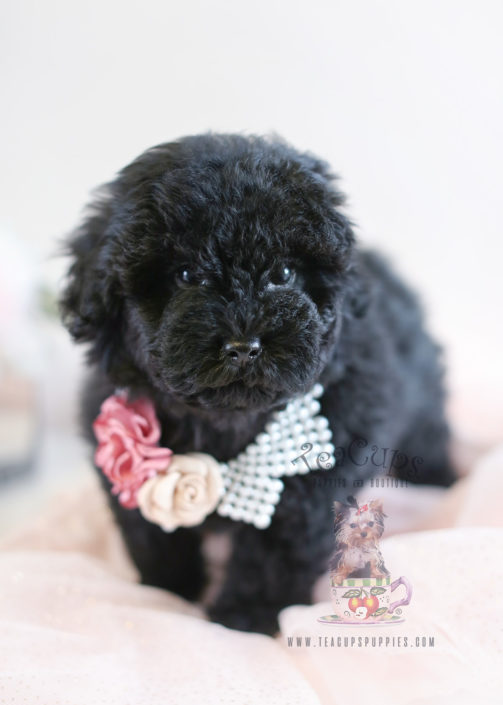 Puppy For Sale #048 Black Toy Poodle Puppy