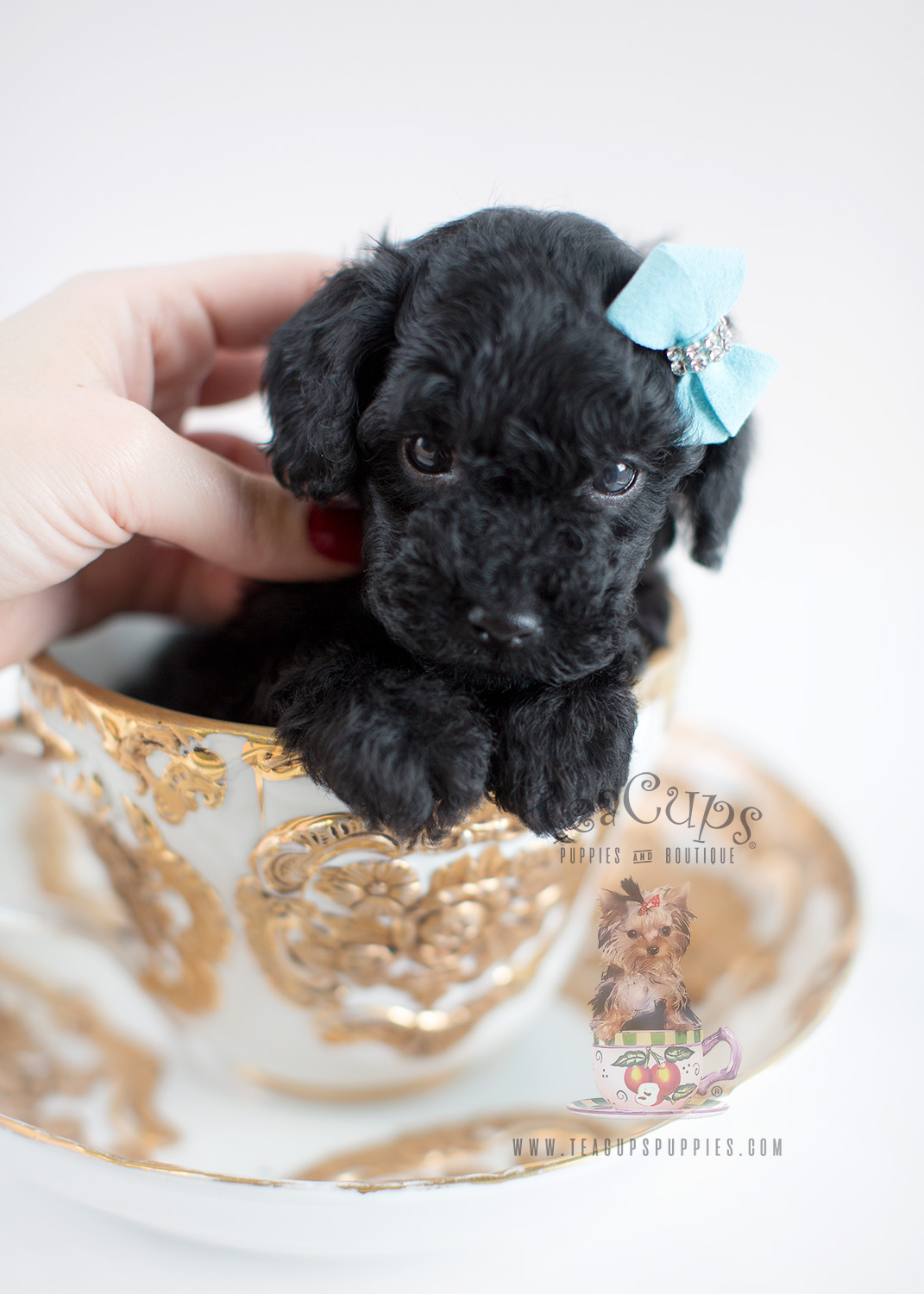 Puppy For Sale Teacup Puppies #035 Black Toy Poodle