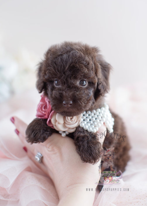 Teacup and Toy Poodle Puppies | Teacups, Puppies & Boutique