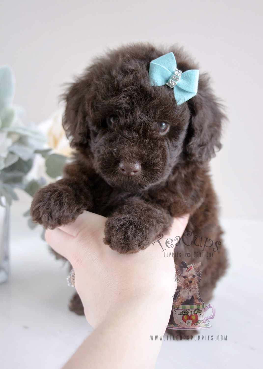 Poodle Puppy For Sale #060 Teacup Puppies Chocolate