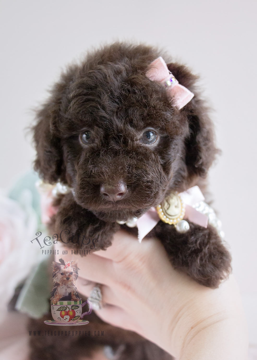 Puppy For Sale #062 Teacup Puppies Chocolate Poodle