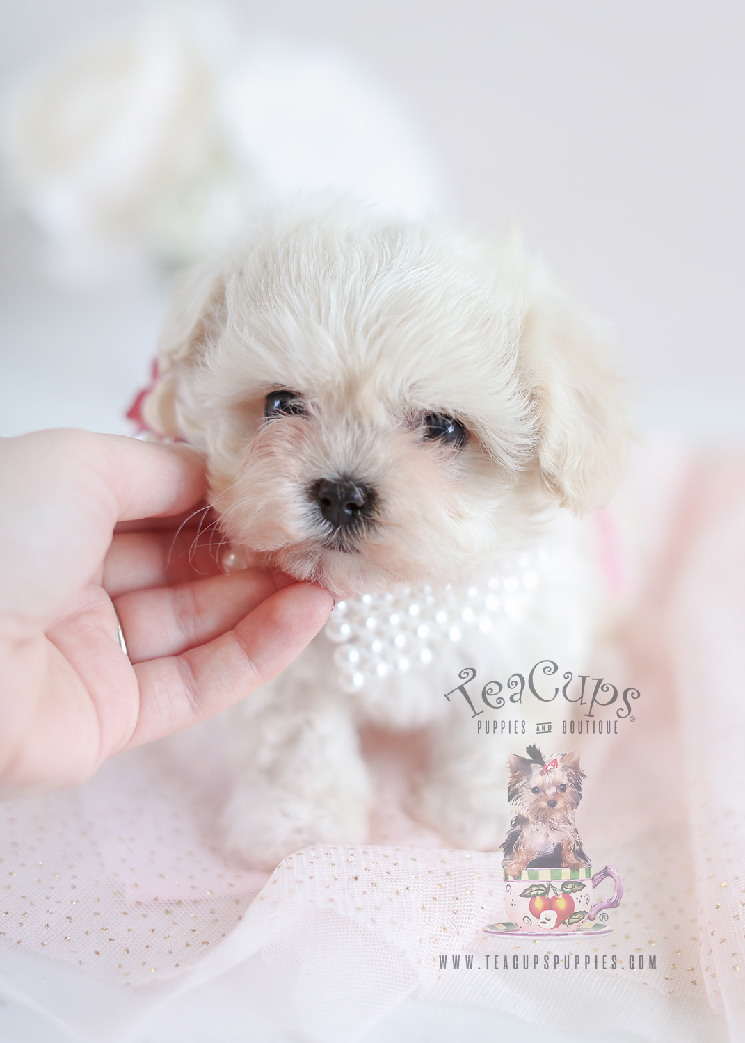 Teacup Puppies Maltipoo Puppy For Sale #050