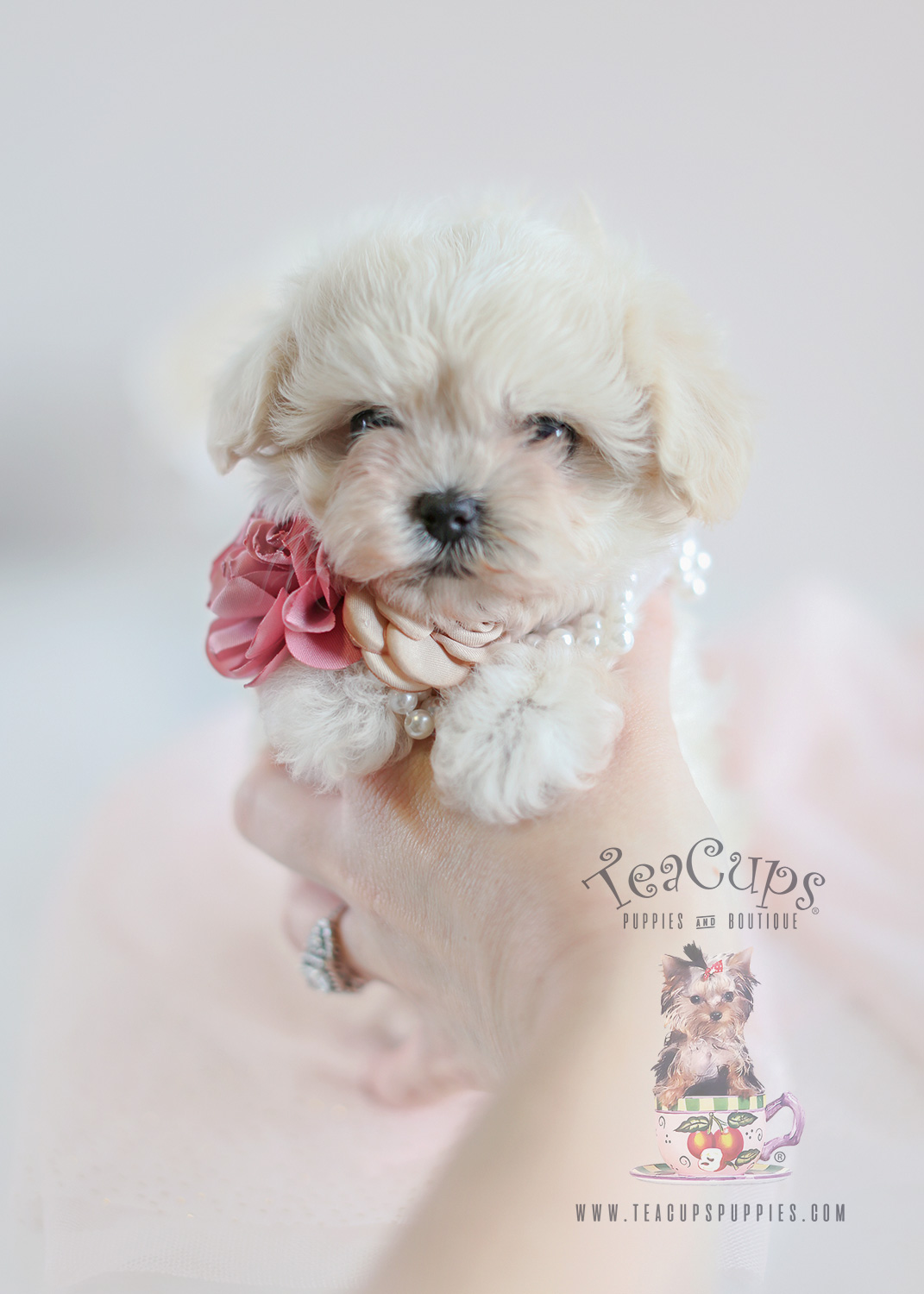 Maltipoo Puppies Amp Teacup Maltipoos For Sale By Teacups