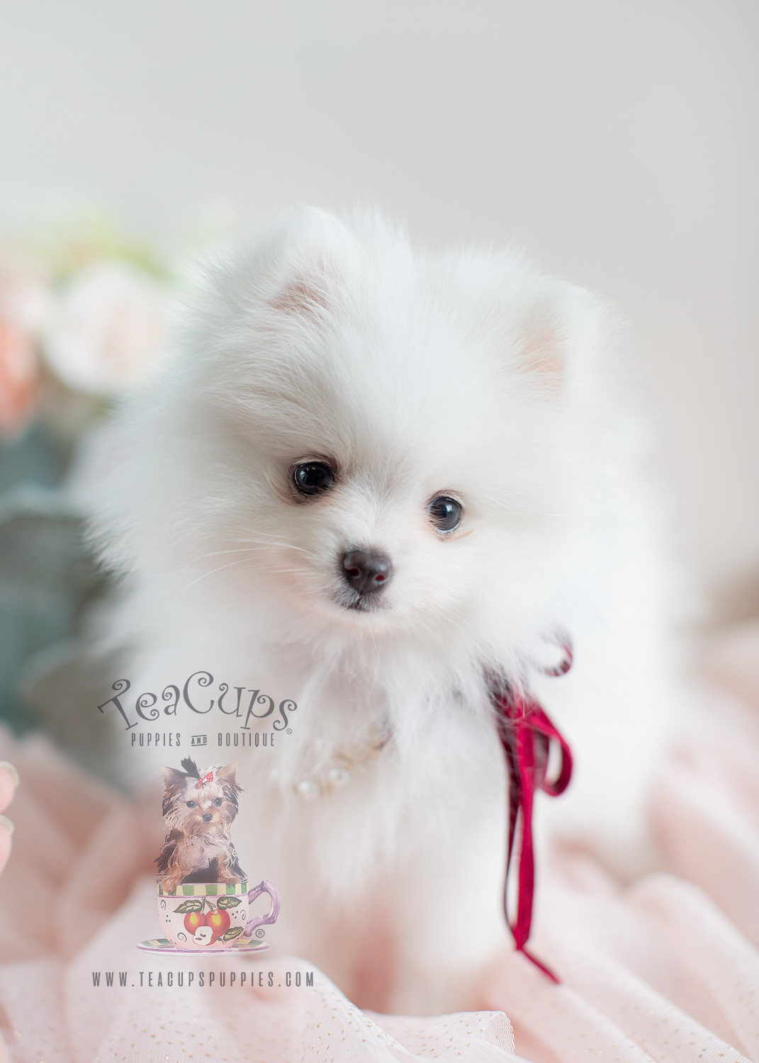Pomeranian Puppies For Sale South Florida Teacups