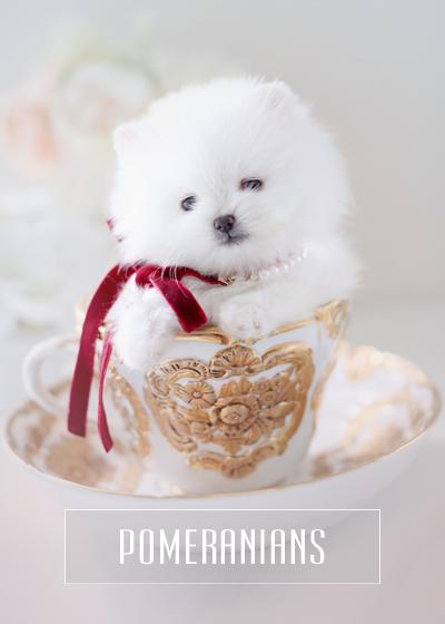 Teacup Pomeranians For Sale Teacup Puppies