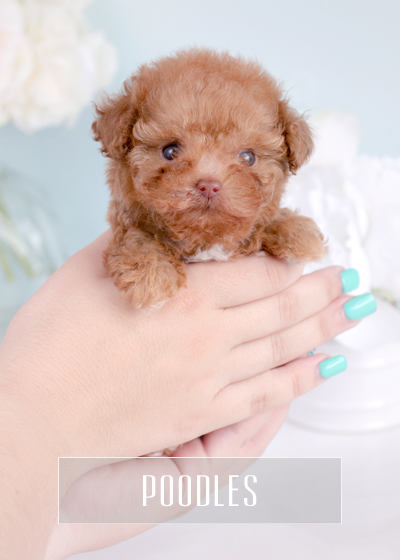 Teacup Puppies & Toy Poodles For Sale in South Florida