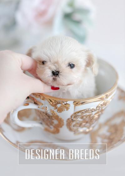 Teacup Puppies Designer Breeds, Maltipoo & Morkie Puppies