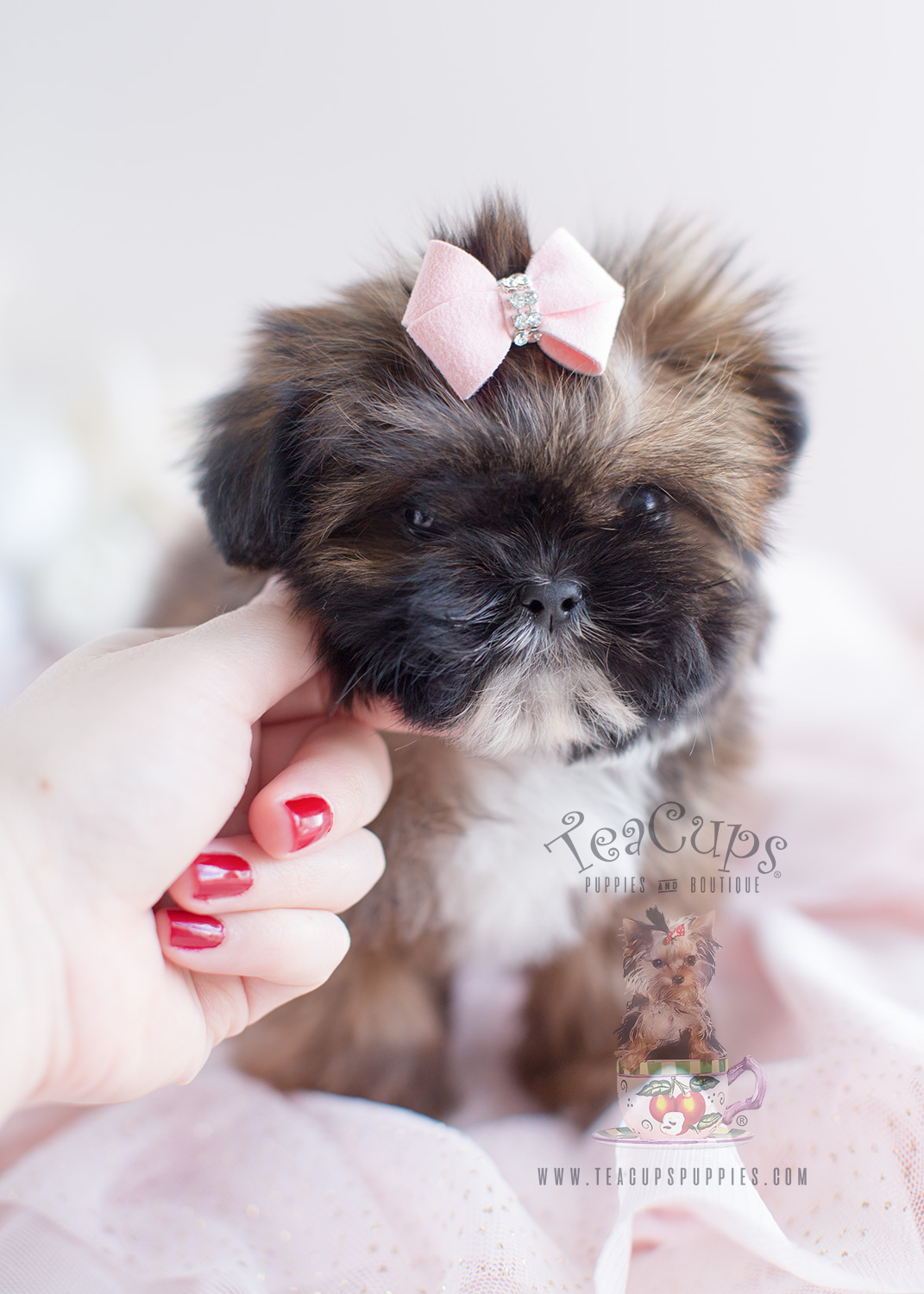 Shih Tzu Puppy For Sale #038